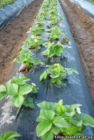 Выращивание хризантем под черной пленкой 18